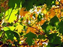 Koloru żółtego I zieleni liście Zaświecający The Sun promieniami kolorowe tło Jesieni Złoty ulistnienie obrazy royalty free