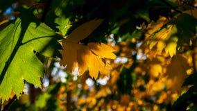 Koloru żółtego I zieleni liście Zaświecający The Sun promieniami kolorowe tło Jesieni Złoty ulistnienie obraz royalty free