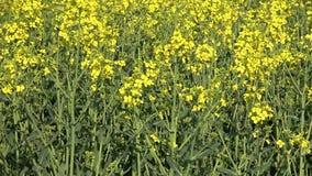 Koloru żółtego kwiat kwitnący gwałt Pszczoły zbierają nektar i pollen zdjęcie wideo