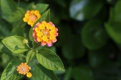 Koloru żółtego & menchii kwiat Zdjęcie Royalty Free
