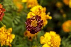 Koloru żółtego ogródu kwiatu odgórny widok Obrazy Stock