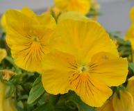 Koloru żółtego pączek pansy kwiat Obrazy Royalty Free