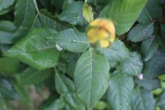 Koloru żółtego pączka zieleni liść zdjęcia stock