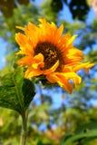 Koloru żółtego pojedynczy słonecznik Obrazy Stock