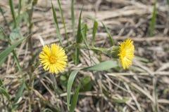 Koloru żółtego pola kwiatów kwiat w łące Tussilаgo fаrfara Zdjęcia Royalty Free