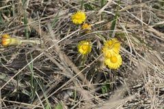 Koloru żółtego pola kwiatów kwiat w łące Tussilаgo fаrfara Zdjęcie Royalty Free