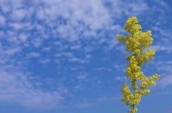 Koloru żółtego pola kwiat Fotografia Stock
