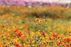 Koloru żółtego pole CrIndian konopiany okwitnięcie Obraz Royalty Free