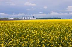 Koloru żółtego pole kwitnący canola i liczba świrony na fotografia royalty free