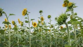 Koloru żółtego pole słoneczniki w lecie pod niebieskim niebem Obrazy Royalty Free