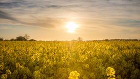 Koloru żółtego pole z słońcem w tle przy zmierzchem Fotografia Royalty Free