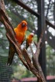 Koloru żółtego, pomarańcze, błękitnego i zielonego koloru papuga, stoi na b Obrazy Stock