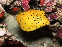 Koloru żółtego pudełka ryba Zdjęcia Royalty Free