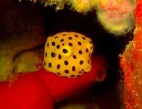 Koloru żółtego pudełka ryba Zdjęcia Stock