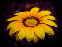 Koloru żółtego sen kwiat zdjęcia stock