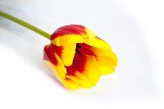 Koloru żółtego tulipan na bielu zdjęcie stock