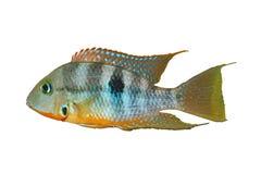 Koloru żółtego usta Thorichthys Pożarniczy affinis Zdjęcie Stock
