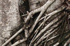 Koloru brzmienie szarość i zmroku korzeniowy drzewo Obrazy Royalty Free