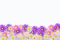koloru lotos Zdjęcie Royalty Free
