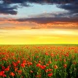 koloru pola indyjski makowy czerwony lato Zdjęcie Stock