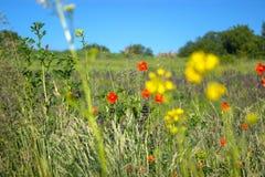 koloru pola indyjski makowy czerwony lato Fotografia Stock