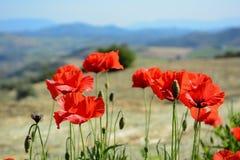 koloru pola indyjski makowy czerwony lato zdjęcie royalty free