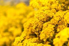 Kolorów żółtych kwiaty Fotografia Stock