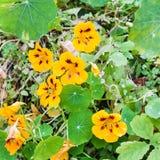 Kolorów żółtych kwiaty i zieleni liście nasturcja Zdjęcie Stock