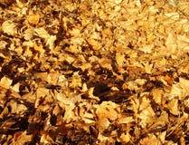 Kolory żółci suszący liście klony Zdjęcie Stock
