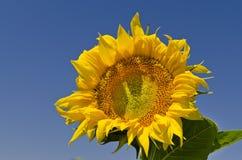 Kolory lato - piękni słoneczniki Obrazy Royalty Free