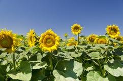 Kolory lato - piękni słoneczniki Zdjęcia Royalty Free