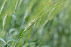 Kolos young wheat. Green ear of young wheat in the wind Stock Photo