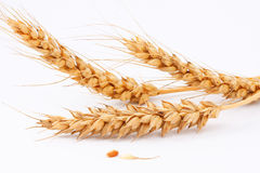 Kolosok ripe wheat falling granule Stock Images