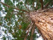Kolossalt sörja trädet underifrån royaltyfria bilder