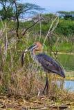 Kolosshäger med fisken Baringo sjö Fotografering för Bildbyråer