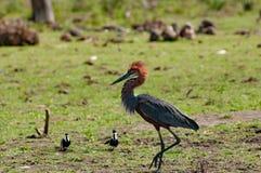 Kolosshägret försvarar dess territorium, sjön Baringo, Kenia arkivfoton