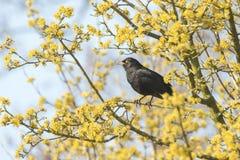 Koltrast (turdusmerula) som sjunger i ett träd Arkivbild