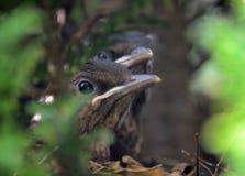 Koltrastfågelungar Royaltyfri Fotografi