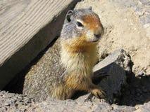 Kolumbia Zmielona wiewiórka przy Rogers przepustką, lodowa park narodowy, kolumbiowie brytyjska, Kanada Zdjęcia Stock