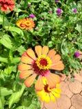 Kolumbianische Blume stockbilder