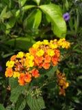 Kolumbianische Blume stockfotografie