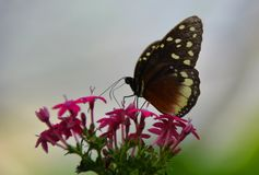 Kolumbianischer Schmetterling Tipycal Stockbild