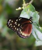 Kolumbianischer Schmetterling Tipycal Lizenzfreie Stockfotos