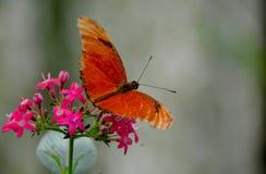 Kolumbianischer Schmetterling Tipycal Lizenzfreies Stockfoto