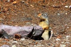 Kolumbianisches Grundeichhörnchen - Montana Lizenzfreies Stockbild
