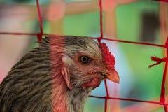 Kolumbianisches Huhn Stockfoto