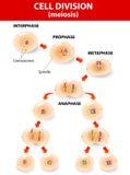 Komórka podział. meiosis. Wektorowy plan Royalty Ilustracja