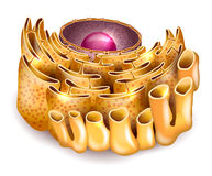 Komórki jądro i Endoplasmic reticulum royalty ilustracja