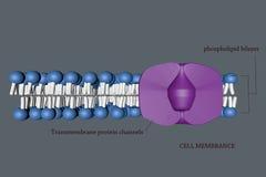 Komórki membranece Obraz Royalty Free