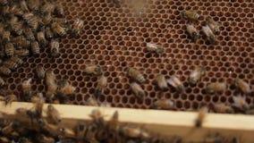 Komórki Miodowej pszczoły makro- materiał filmowy pszczoła miodu i roju produkci pszczelarka zdjęcie wideo
